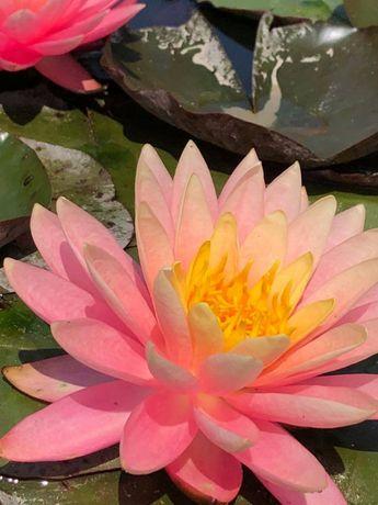 Lilia wodna Sunny Pink