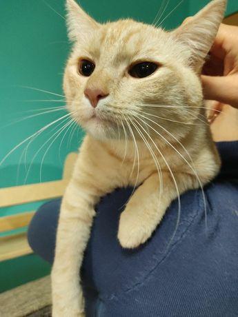 Персиковый красавец кот Тишка ищет любящий дом!