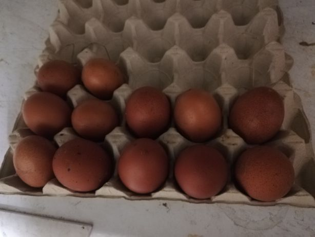 Jajka lęgowe Maranas