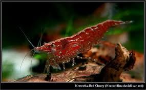 krewetka red cherry