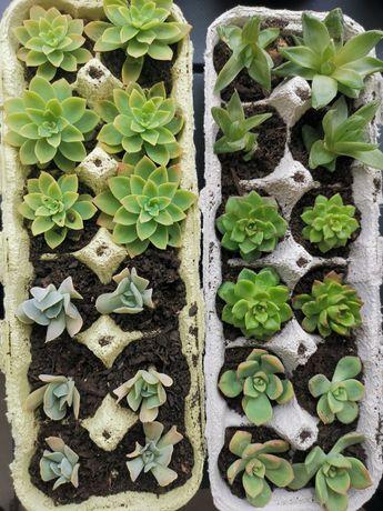Caixa de 12 suculentas variedades