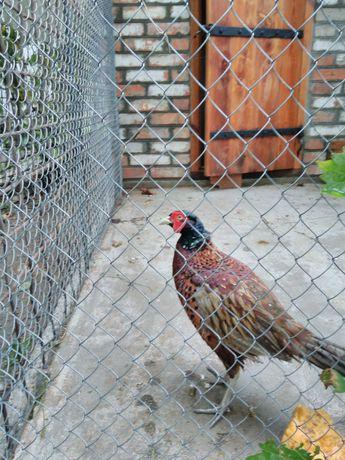 Продам самцов фазана охотничьего, золотого