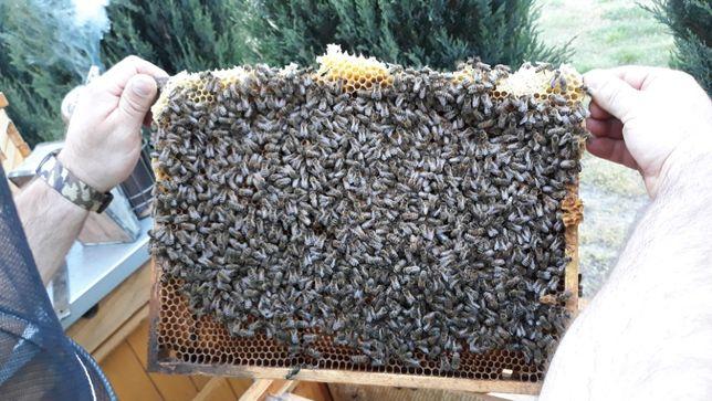 rodziny pszczele pszczoły odkłady