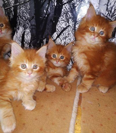 Maine Coon .Шоу, супер котята Классные. Красные и мраморные,крупные