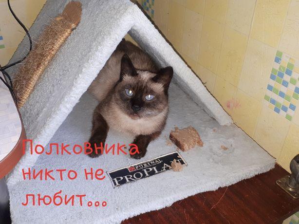 Симон кот балинез кастрирован возраст от 5 лет