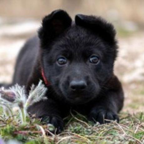 Породистые щенки черной немецкой овчарки, европейцы