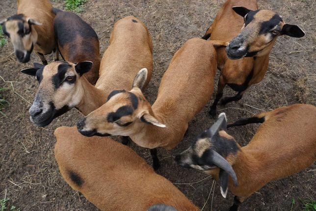 Owce kameruńskie - owca, baranek, tryk