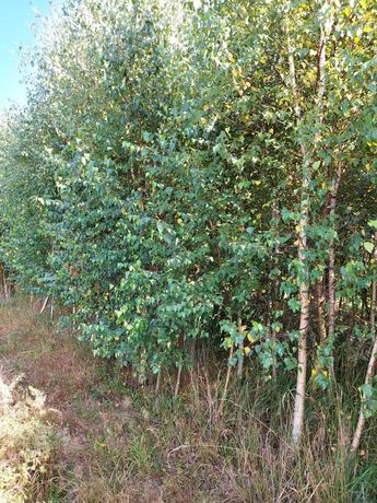 Brzoza pospolita obw 10-18cm drzewa alejowe dostawa cały kraj ! HURT
