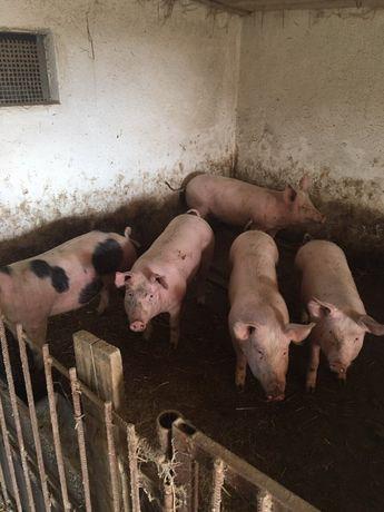 Продам Підрощені Свині