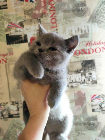 Шотландский котенок-кот.