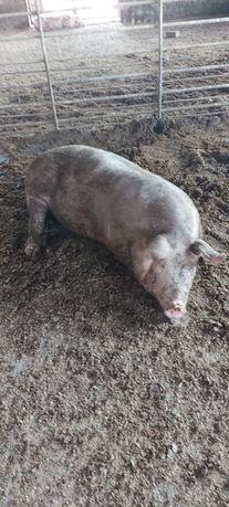 Продам Свинина свиньи свинья мясо живым весом