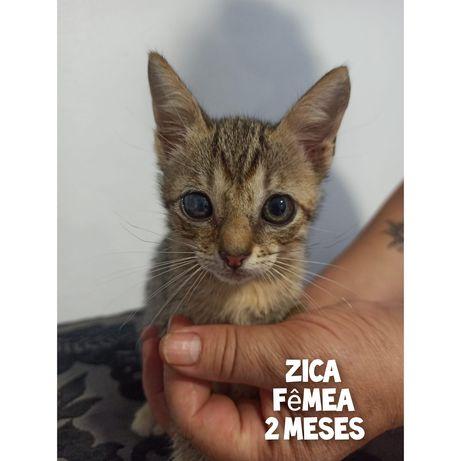 Zica- gatinha bebe para adoção
