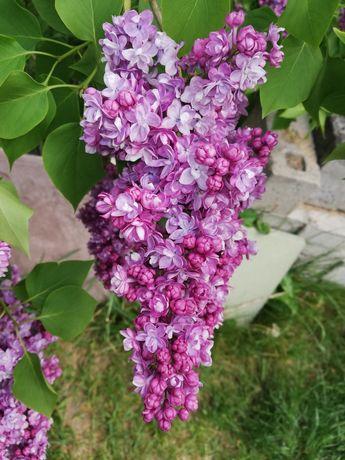 Sadzonki bzu, ukorzenione, kolor fioletowy, gruby podwójny kwiat,