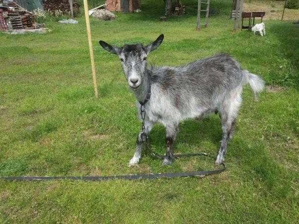 Продам козу Первістка Німецької породи