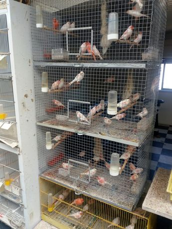 Pássaros- canários Vermelhos