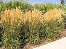trzcinnik ostrokwiatowy Overdam trawa ozdobna trawy ozdobne