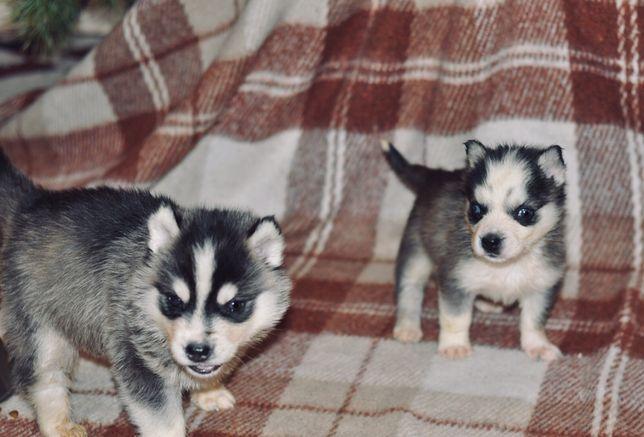Сибирской хаски щенки! Подростки !