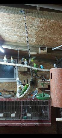Papugi faliste z tego roku