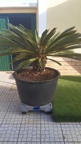 Palmeira Fêmea Cyca Cica Revoluta [URGENTE Baixa Preço ]