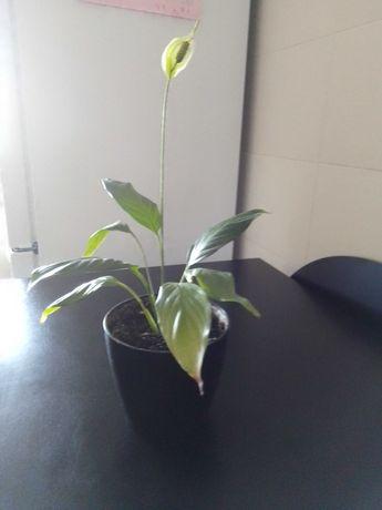 Planta a Alegria do Lar