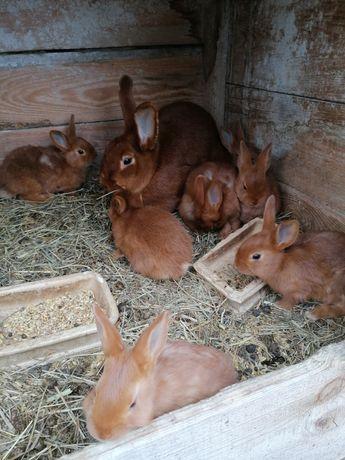 Sprzedam króliki NC/NB/WJS 6 tygodniowe