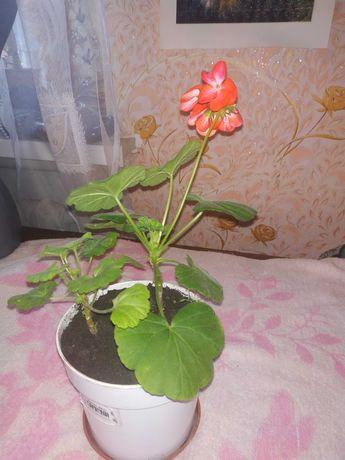 Герань, Калачик, Пеларгония цветущая
