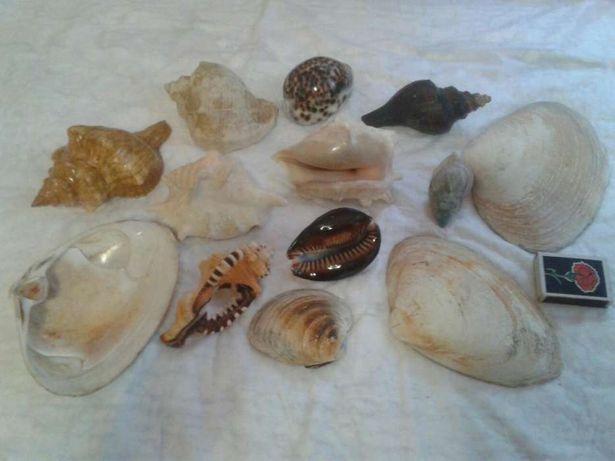 Морские раковины  13 штук