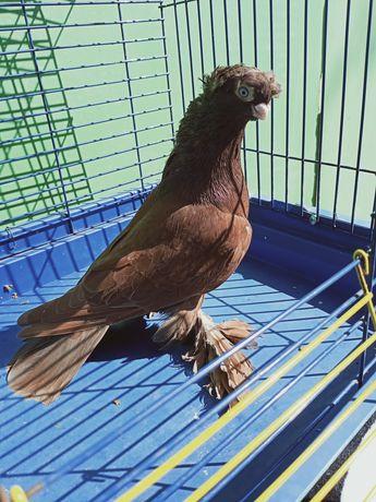 Продаю голуби узбеки