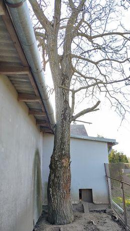 Orzech Włoski drzewo sprzedam cena do uzg