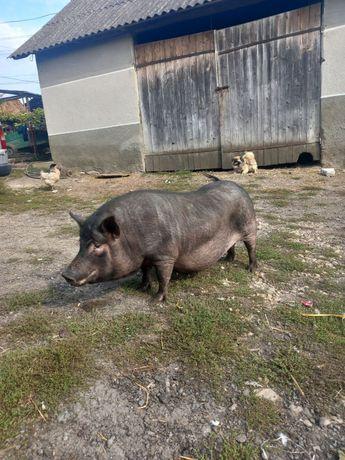 Вєтнські свиноматки