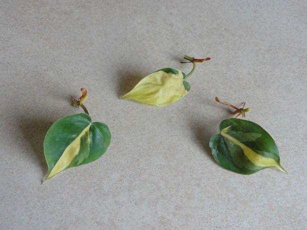 Zestaw. Szczepki Philodendron Brasil. Tanio.
