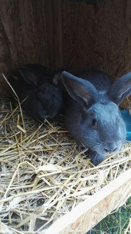 Sprzedam 2 króliki Wiedeńskie Niebieskie
