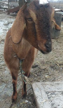 Продам 3х породистых коз