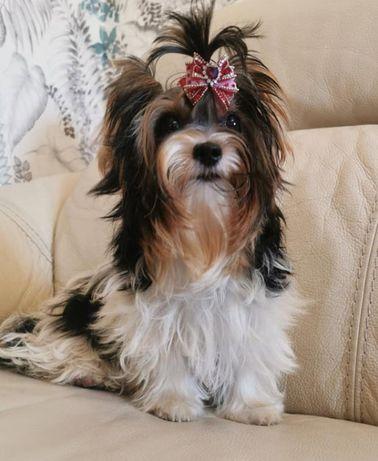 Красивые щенки бивер-йоркширский терьер