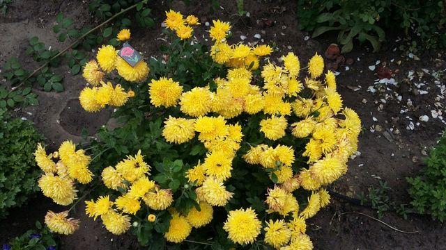 Хризантема ранняя