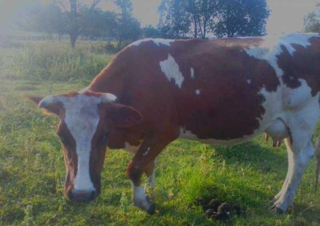 Молода корова червоно ряба