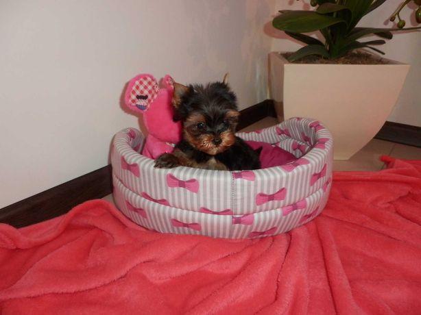 Yorkshire Terrier piesek  miniaturka