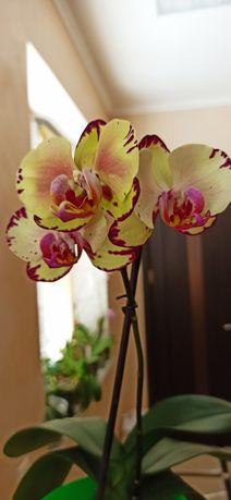 Орхидея Азиат Miki Crown