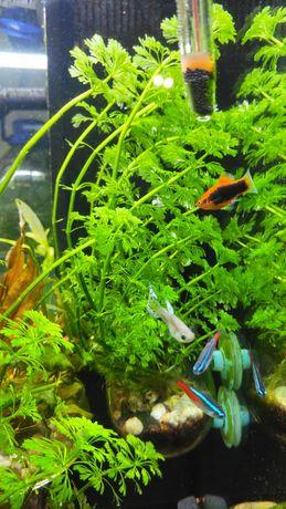 Peixes Platy (2 machos + 2 fêmeas)