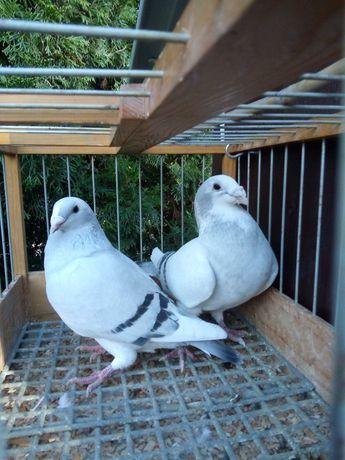 Gołębie standardy