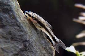 PROMOCJA Otosek przyujściowy Otocinclus affinis. Cetarius