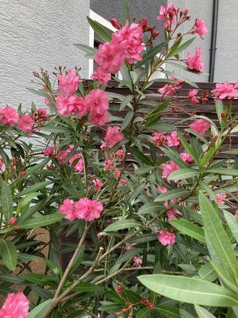 Oleander różowy