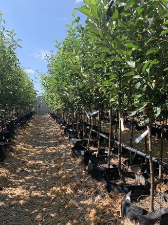 Крупномерные плодовые деревья и кустарники, клубника все в контейнерах