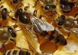 Matki Pszczele ,Odkłady,Rodziny, KOKONY MURARKI ,sprzęt pszczelarski