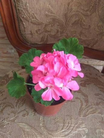 Красивые цветы пеларгония герань комнатный офисный цветок растение