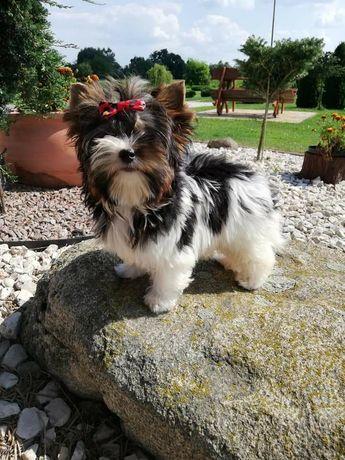Yorksheir Terrier