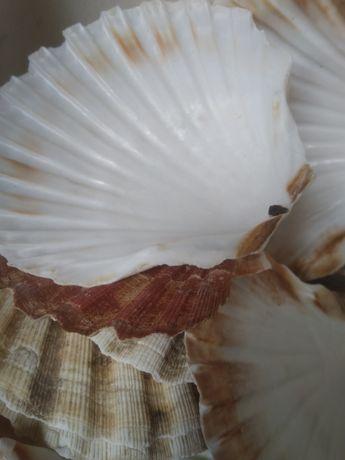 Naturalne, głębokie lub płaskie duze muszle  , muszle św. Jakuba