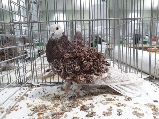 Gołębie ozdobne Loczki
