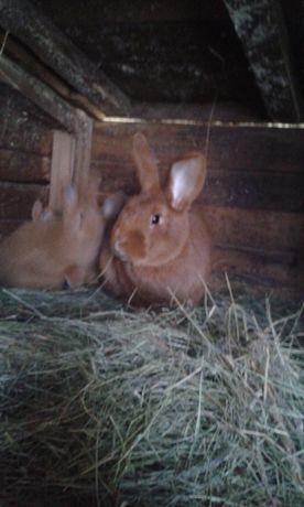 Sprzedam króliki (Czerwone nowozelandzkie).