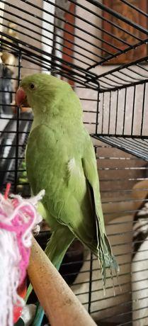 Papuga Aleksandretta